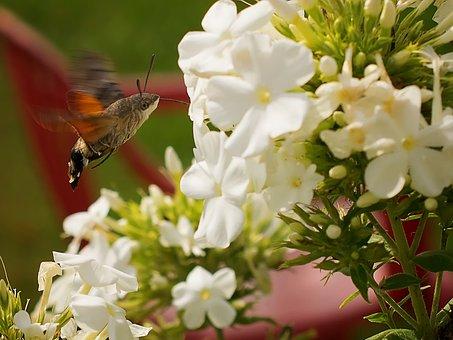 Hummingbird Hawk Moth, Butterfly, Dove Tail, Moth, Owls