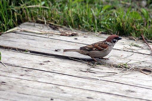Sparrow, Passer Montanus, Bird, Nature, Living Nature