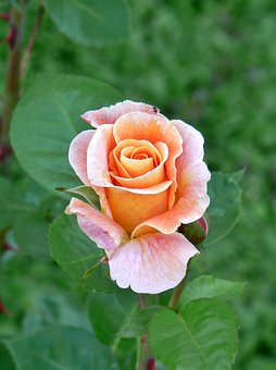 Rose-marie Height, Apricot, Rose Bloom, Pink