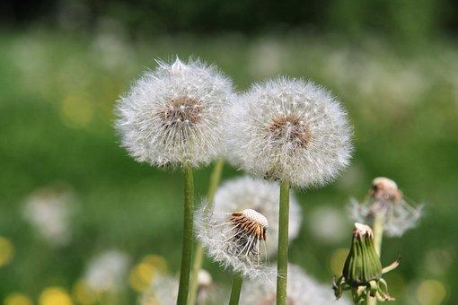 Dandelion, Nature, Plant, Flower, Summer, Meadow, Seeds