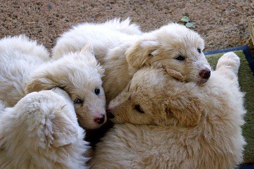 Maremmano, Sheepdog, Maremma, Dog, Dogs, Brothers