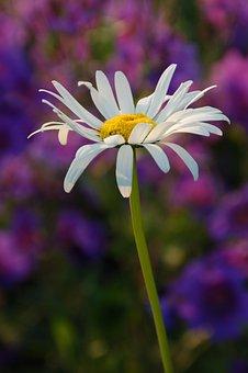 Plant, Nature, Petal, Summer, Garden, Margriet, White