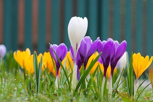 Nature, Flower, Plant, Garden, Spring, Crocus, Yellow