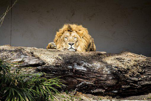 Nature, Animal World, Cat, Carnivores, Lion, Mammal
