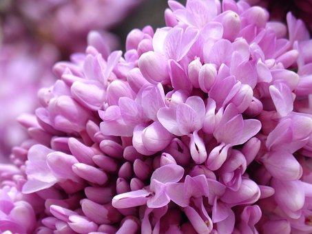 Love Tree, Judas-tree, Pink Flowers, Cerci Siliquastrum