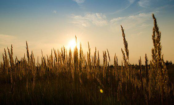 Wheat, Field, Outdoors, Cereal, Growth, Summer, Nature