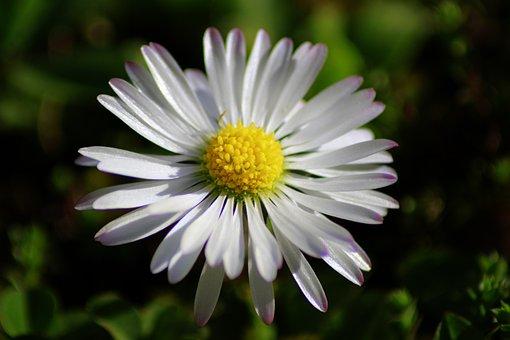 Nature, Flower, Plant, Spring, Daisy, Close, Grass