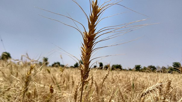Wheat, Straw, Cereal, Field, Crop