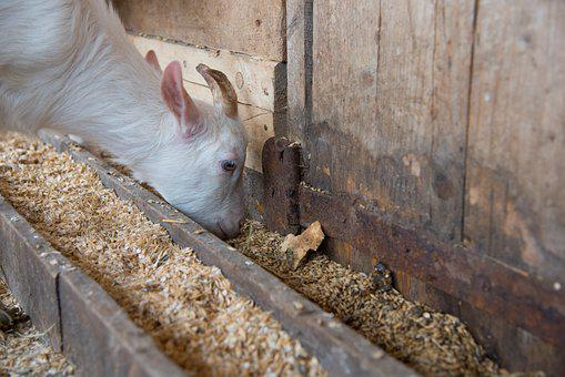 The Kid, Goat, Eating, Cowshed, Pet, Farm, Closeup