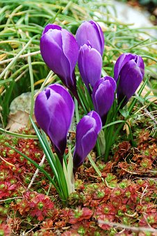 Spring, Crocus, Garden, Purple, Group