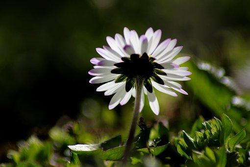 Flower, Nature, Plant, Daisy, Spring, Sun, Garden