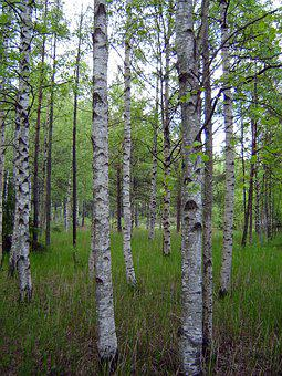Wood, Nature, Landscape, Plant, Tribe, Birch, Forest