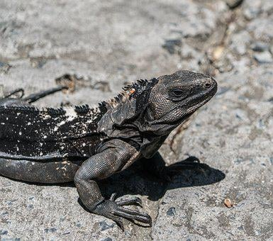 Endangered, Black Iguana, Close Up, Lizard, Reptile