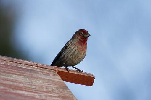 Bird, Wildlife, Male House Finch, Finch, House Finch