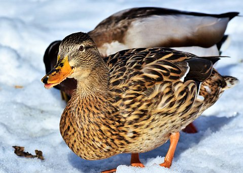 Duck, Water Bird, Mallard, Bird, Feather, Wing, Plumage