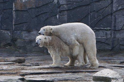 Polar Bear, Animal Park Berlin, Zoo, Pairing, Mammal