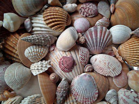 Seashell, Marine, Crustaceans, Mussels, Scallop