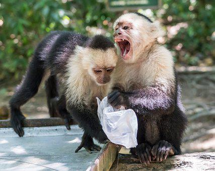 White-headed Capuchin, Monkeys, Mammal, Primate
