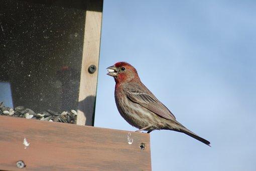 Bird, Outdoors, Wildlife, Nature, House Finch