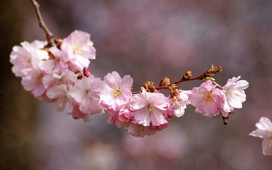 Cherry Blossom, Flower, Plant, Nature, Cherry Wood