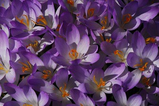 Flower, Nature, Plant, Floral, Flowers, Crocus, Purple