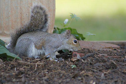 Mammal, Nature, Squirrel, Wildlife, Rodent, Outdoors