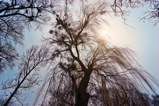 Tree, Weeping Willow, Winter, Nature, Wood, Landscape