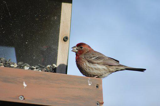 Bird, Outdoors, Nature, Wildlife, House Finch, Wild