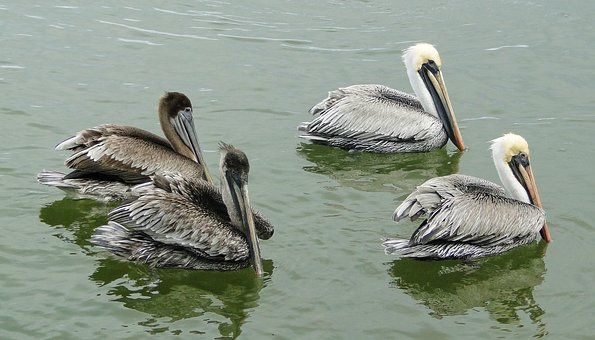 Pelican, Brown Pelican, Mexico, Bird, Animal, Beak