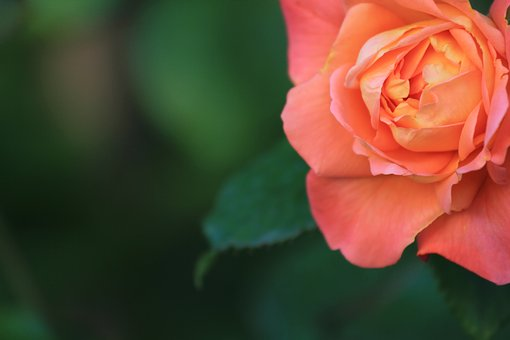 Flower, Nature, Rose, Leaf, Flora, Petal, Summer