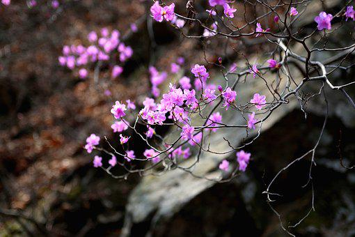 Nature, Flowers, Plants, Wildflower, Azalea