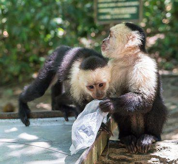 White-headed Capuchin, Monkeys, Playing, Primate