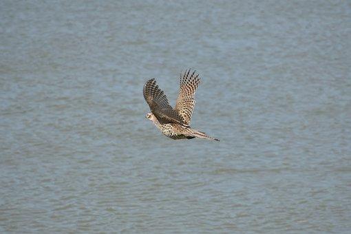 Animal, River, Bird, Wild Birds, Pheasant, Feathers