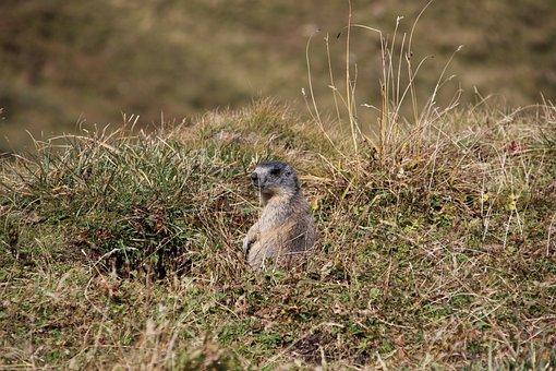 Marmot, Alpine Marmot, Munggen, Marmota Marmota, Rodent