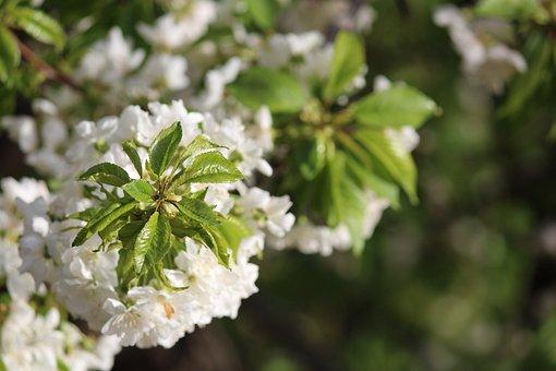 Flower, Nature, Tree, Plant, Season, Branch, Petal