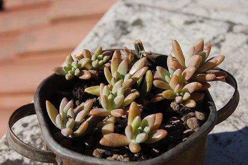 Succulent Plant, Crassulacea