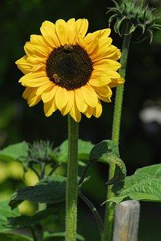 Nature, Plant, Flower, Summer, Leaf, Sun Flower, Yellow