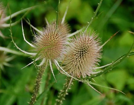 Nature, Spines, Plant, Summer, Texture