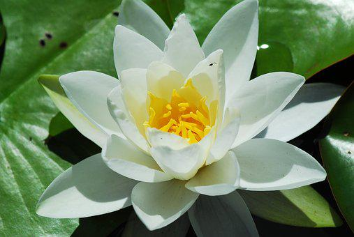 Plant, Lotus, Flower, Leaf, Nature, White, Water Lily