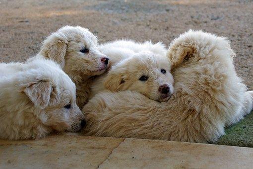 Maremmano, White, Sheepdog, Confidence, Company