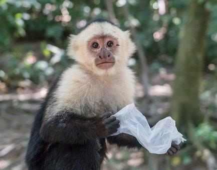 White-headed Capuchin, Monkey, Mammal, Primate