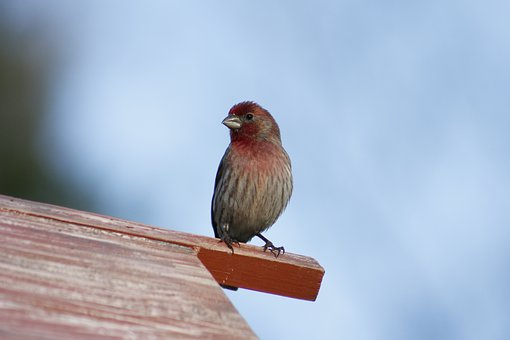 Nature, Bird, Outdoors, Wildlife, House Finch