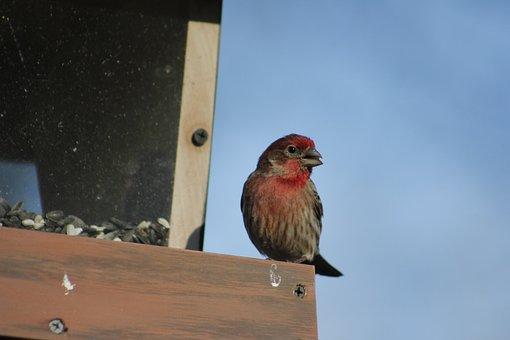 Bird, Outdoors, Nature, Wildlife, House Finch
