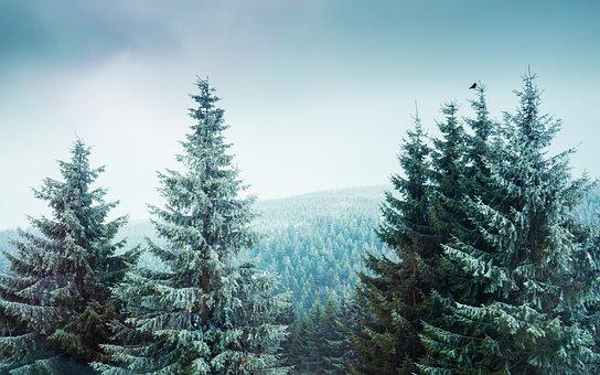 Wood, Nature, Forest, Landscape, Fir, Conifer, Bird