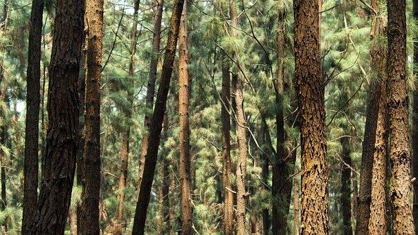 Wood, Tree, Nature, Landscape, Conifer, Flora, Outdoors