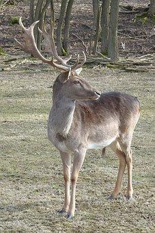 Hirsch, Mammal, Animal, Animal World, Antler, Nature