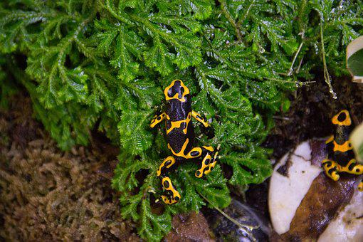 Nature, Wildlife, Animal, Frog, Dart Frog, Yellow