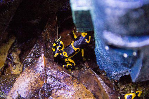 Nature, Animal, Frog, Dart Frog, Yellow, Bumblebee
