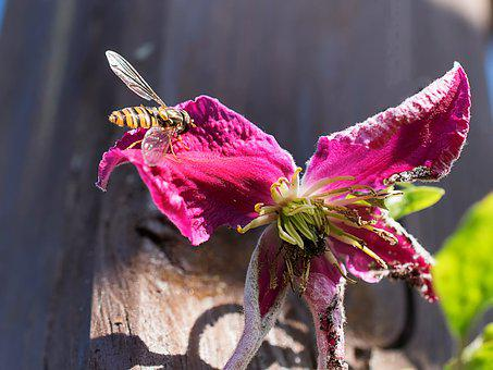 Hoverfly, Flower, Pollen, Insect, Macro, Close