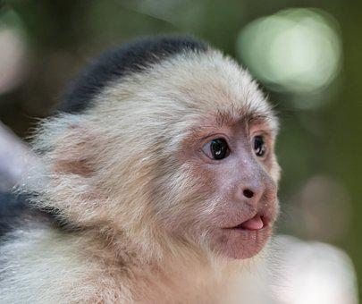 White-headed Capuchin, Monkey, Tongue, Baby, Close- Up